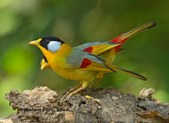 Silver-eared Mesia,    Leiothrix argentauris photo by Graham Ekins
