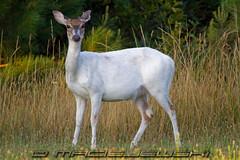 Piebald White Tailed Deer Doe photo by Steve Maciejewski