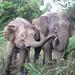 Pygmy Elephant - Sandakan, Malaysia