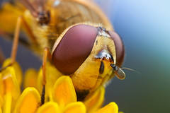 Hoverfly series + some neat gear photo by johnhallmen