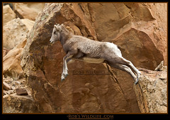 Big Horn Sheep Jump-0732-W.jpg   -- Explore  #371  12-4-10 photo by RobsWildlife.com © TheVestGuy.com