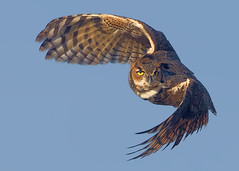 great-horned owl photo by michaelrosenbaum