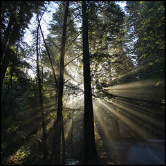 Redwood Rays Squared photo by LifeLover4
