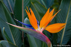 Bird of Paradise photo by T. Le Thang
