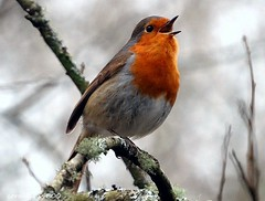 sing little bird sing your song  [[robin]] photo by coral.hen4800
