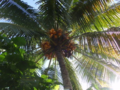 Under A Healthy Malayan Red Dwarf Coconut Tree! photo by thienzieyung