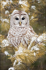 Barred Owl in snow covered tree photo by Greg Schneider (gschneiderphoto.com)