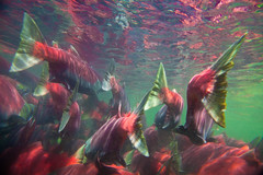 Underwater View of Migrating Sockeye Salmon photo by Lee Rentz