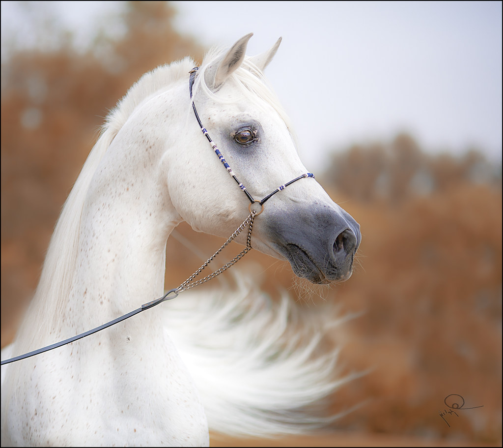 Arabian Horses photo by HANI AL MAWASH