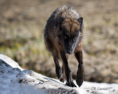 Yellowstone Wolf Tracking Me? photo by CR Courson