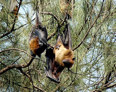 INDIAN FRUIT BAT photo by PIJUSH KANTI BISWAS