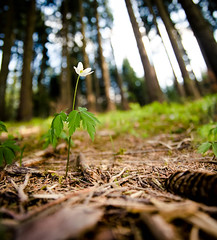 Spring in the forest - Anemone photo by Mr.RJ-M