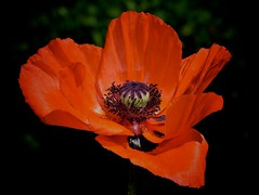 A red poppy on black photo by Go 4 IT