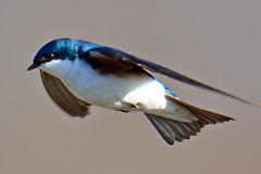 Tree Swallow In Flight photo by Brian E Kushner