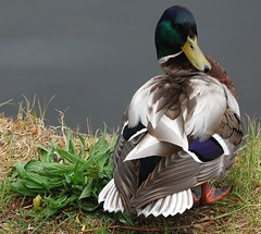 Mallard (Male) Anas platyrhynchos photo by Gaz-zee-boh