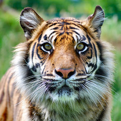 Tiger- to feel a big cats breath on your face is an experience I won't ever forget photo by Jennie Anderson