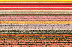 Tulips Field in Keukenhof photo by Angelo Bosco