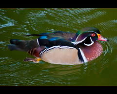 male wood duck photo by MohdShareef