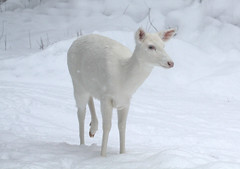 Albino Whitetail Deer (Odocoileus virginianus)  In Her  Winter Wonderland photo by Lifeinthenorthwoods.com