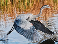 Great Blue Heron photo by mtetcher