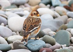 Snow Bunting - Pleasant surprise on a Grim day - Explored! photo by Ashley Cohen Photography