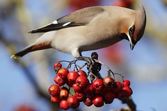 Waxwing Close Up photo by Ady G.