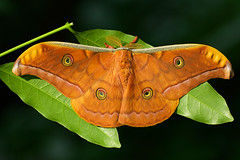 4631_Tussar silk moth photo by Phi Dao