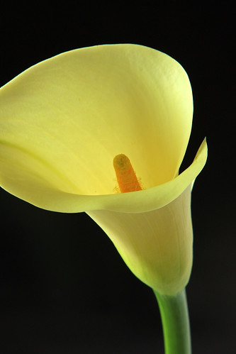 Calla Lily - IMG_2456_edited-1 by Aussie Shutterbug (On Holiday)
