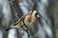 11 Feb. Goldfinch photo by arthurpolly