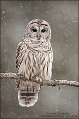Barred Owl in heavy snowfall photo by Greg Schneider (gschneiderphoto.com)