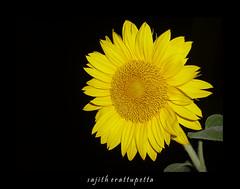 sun flower photo by Sajith | ഈരാറ്റുപേട്ട