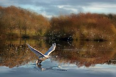 Swan Landing photo by RobMcA Photography
