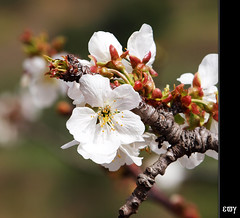 hola primavera / hello spring / cherry tree (1) photo by e_velo (εωγ)