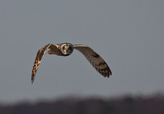 Short-eared Owl (Asio flammeus) at Forsythe NWR in Oceanville, New Jersey photo by bsouthj - always catching up
