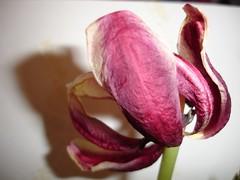 Vieux tulips sur fond blanc