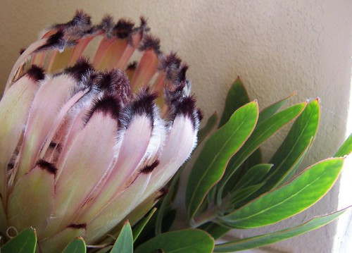 Pale pink & black protea