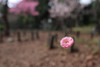 梅の散るころ
