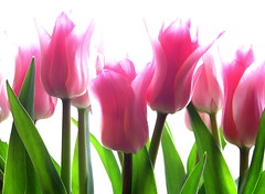 tulips photo by Muffet
