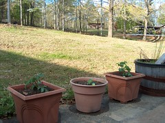 Tomato plants and a Habanero