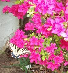 butterfly azalea
