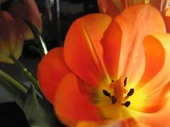 tulipstudy.2