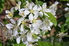 Flower1_bee