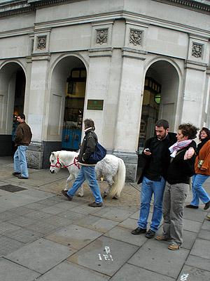 Shetland Pony?