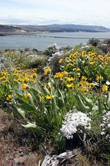 Arrowleaf Balsamroot overlooking the Columbia River