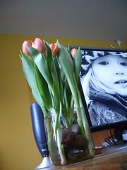 tulip 2/5