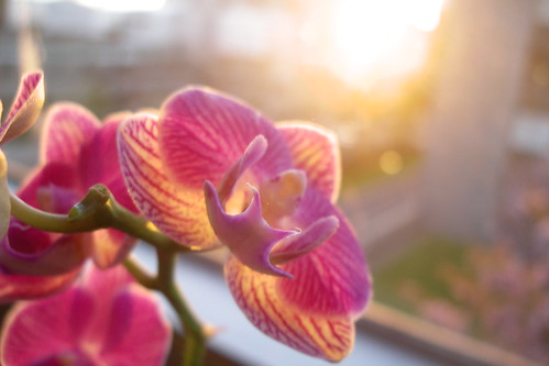 orchid in sunset 4