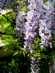 Blütenpracht in der Sophienstraße 244 III