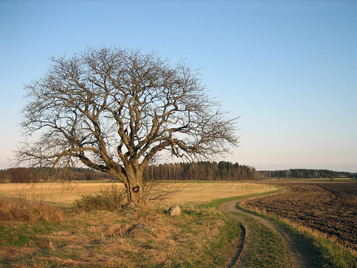 That old tree (May 5, 2006)