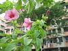 Allamanda blanchetii A. DC. (Cherry Allamanda, Purple Allamanda)