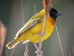 Black-headed Weaver, Barroca d'Alva (Portugal), 19-Apr-06
